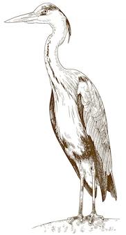 Gravure van illustratie van blauwe reiger