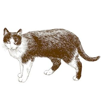 Gravure van illustratie van kat