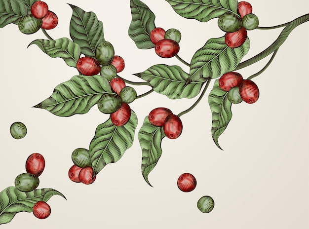 Gravure van koffieplanten, vintage decoratieve bladeren en koffiebessen voor gebruik