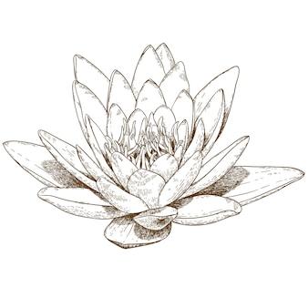Gravureillustratie van waterleliebloem