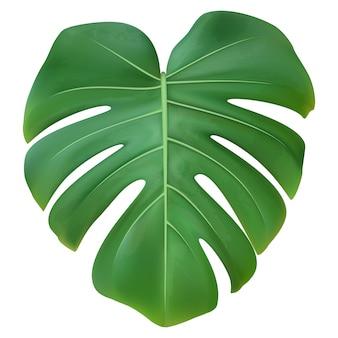 Groen blad van geïsoleerde monstera-installatie