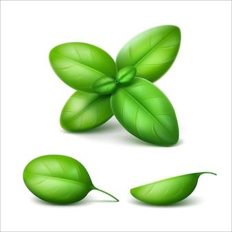 Groene verse basilicum bladeren close-up geïsoleerd
