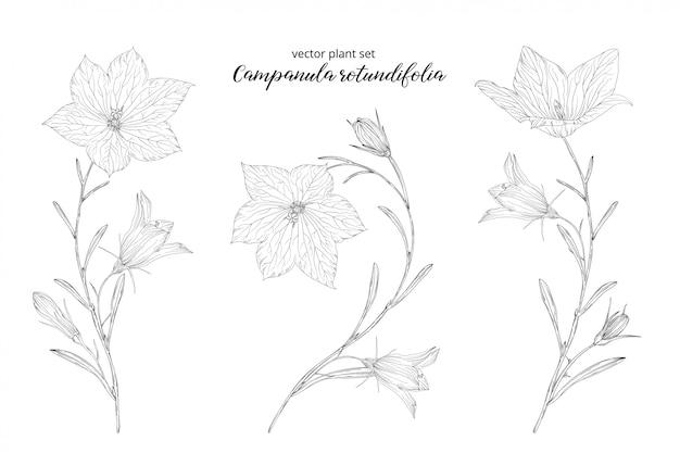 Groentenset van campanula rotundifolia