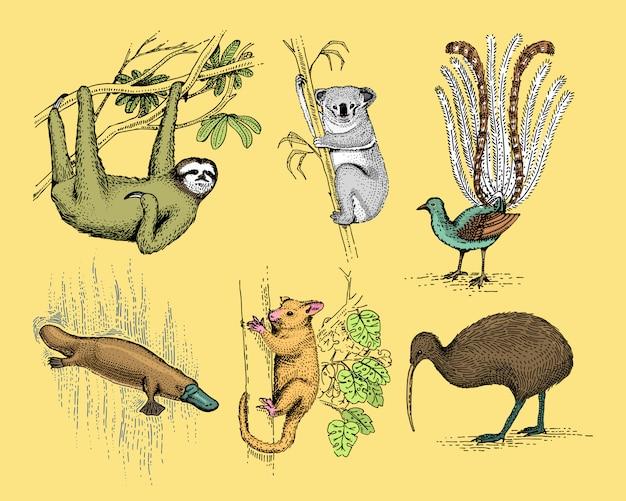 Grote set van australische en nieuw-zeeland symbolen, gegraveerd dier, hand getrokken, vintage tekening tasmaanse wolf, kea papegaai, buidelrat, vogelbekdier met eend, duivel, numbat. wombat, koala, kiwivogel.