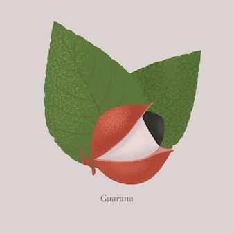 Guarana exotisch fruit en bladeren op grijs.