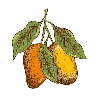 Hand getekend botanische mango boomtak met illustratie van fruit