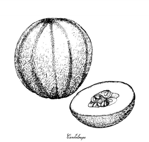 Hand getekend of cantaloupe fruit