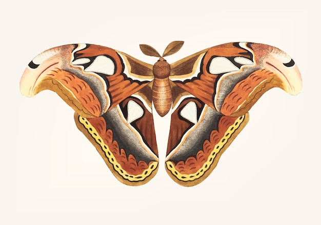 Hand getekend van atlas nachtvlinder