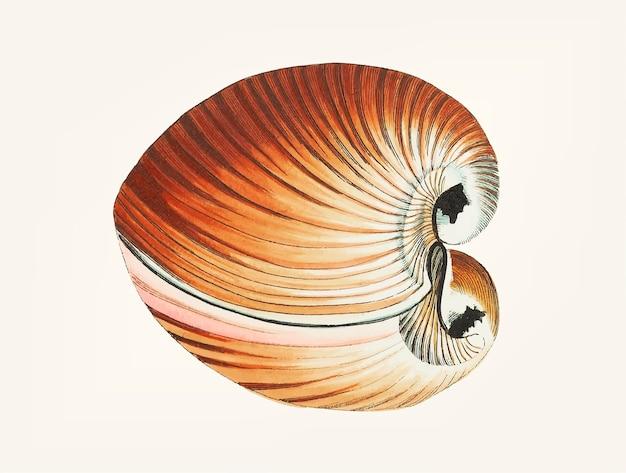 Hand getekend van chama zoutwater clam