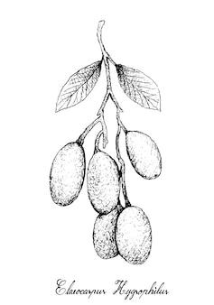 Hand getekend van elaeocarpus hygrophilus