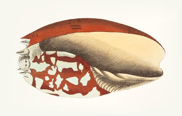 Hand getekend van ethiopische kroon zee schelp
