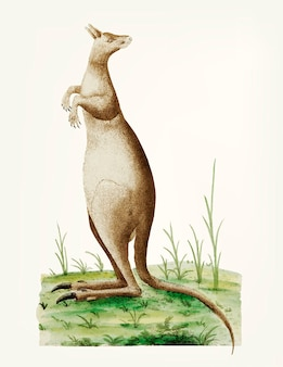 Hand getekend van grote kangaroo