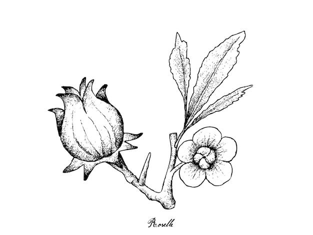 Hand getekend van hibiscus sabdariffa of roselle