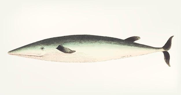 Hand getekend van walvis
