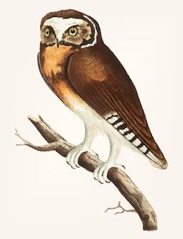 Hand getekend van white-fronted owl