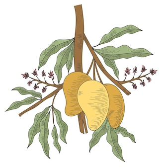 Hand getekende illustratie botanische mango boomtak met fruit