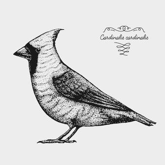 Hand getekende realistische vogel, schets grafische stijl, rode kardinaal, cardinalis
