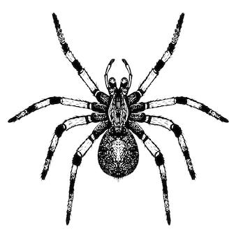 Hand getekende tarantula