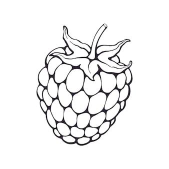 Hand getrokken doodle van bramen of frambozen fruit met stengel h