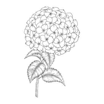 Hand getrokken hortensiabloemen en bladeren die illustratie trekken.