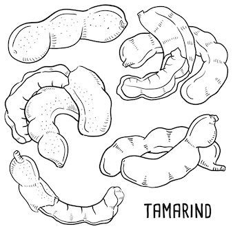 Hand getrokken illustratie van tamarinde.