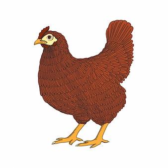 Hand getrokken kip, kip. gevogelte, vleeskuikens. vintage kleurrijke vogelschets