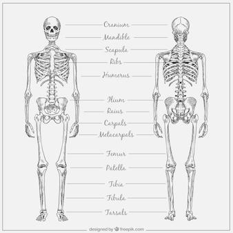 Hand getrokken skelet met namen
