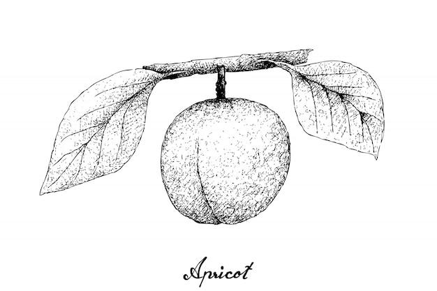 Hand getrokken van abrikoos op witte achtergrond