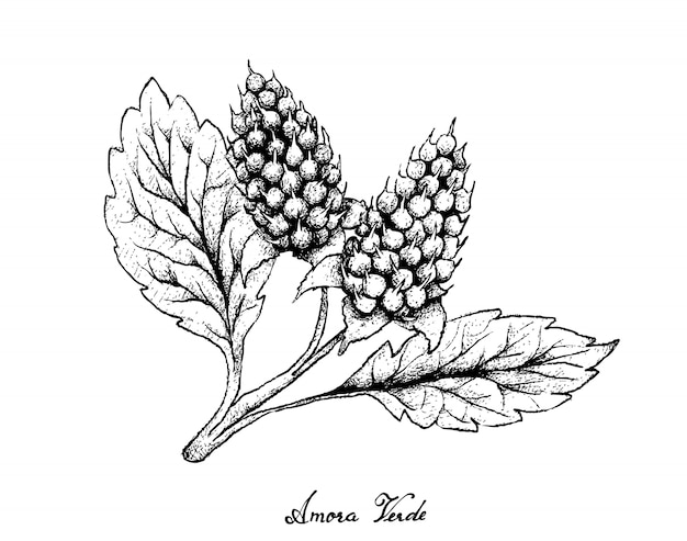 Hand getrokken van amora verde bessen op witte achtergrond