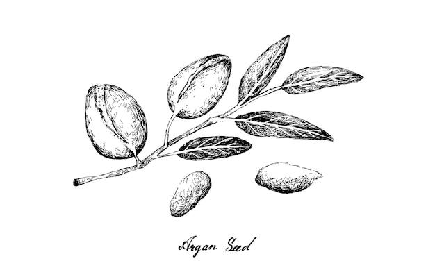 Hand getrokken van argan zaden op een tak