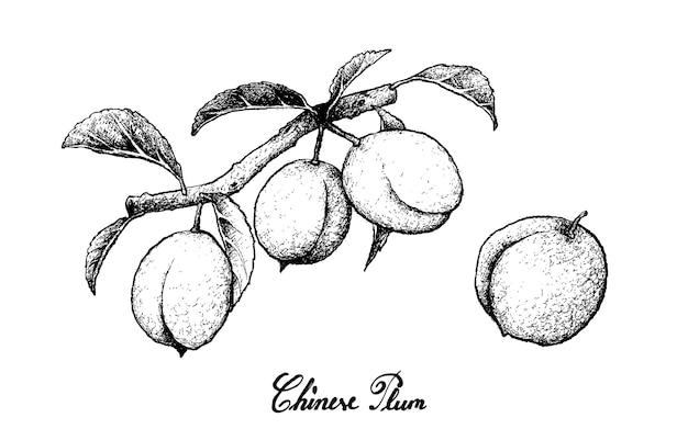 Hand getrokken van chinese pruimen op witte achtergrond