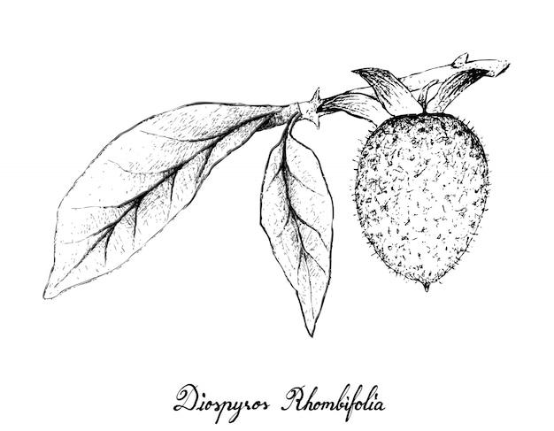 Hand getrokken van diospyros rhombifolia op witte achtergrond