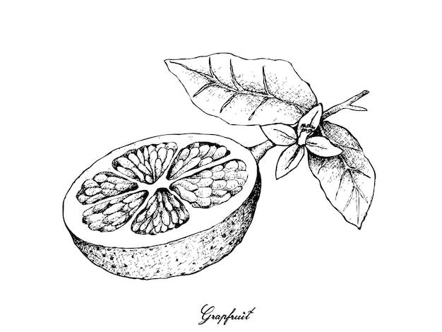 Hand getrokken van grapefruit fruit