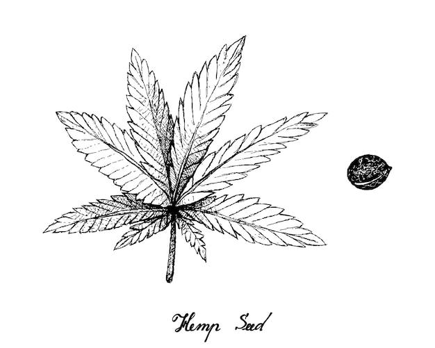 Hand getrokken van hennepblad en zaden