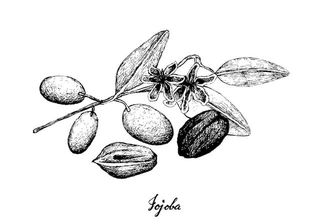 Hand getrokken van jojoba-noten en zaad Premium Vector