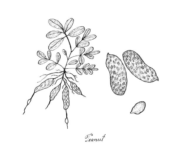 Hand getrokken van pinda's plant