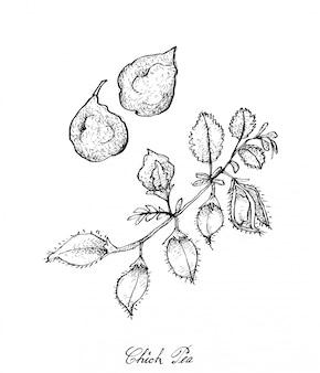 Hand getrokken van pod van kikkererwten op een plant