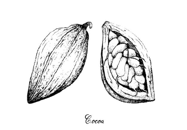 Hand getrokken van theobroma cacao fruit op boom bos