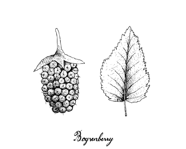 Hand getrokken van verse boysenberry