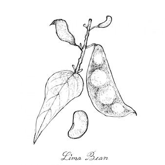 Hand getrokken van verse groene lima bean Premium Vector