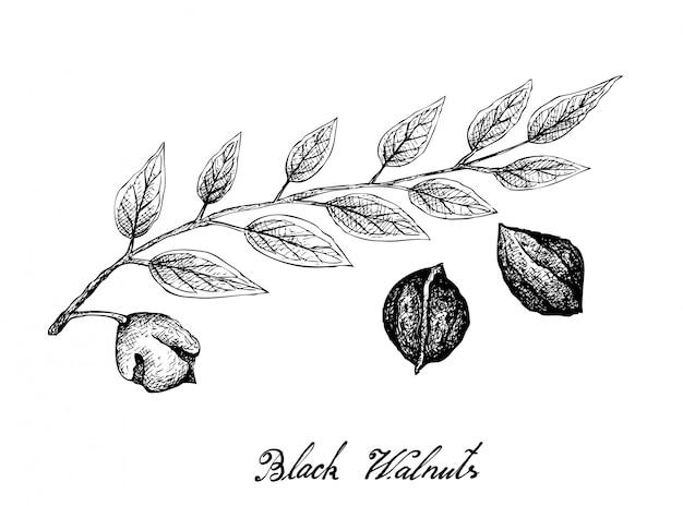 Hand getrokken van zwarte walnoten op een tak