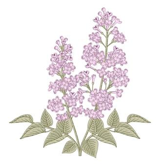 Hand getrokken witte en paarse syringa vulgaris (common lilac) bloemtekeningen.
