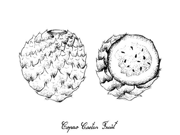 Hand van copao-cactusvruchten wordt getrokken op witte achtergrond die