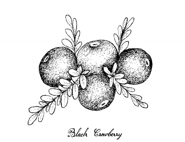 Hand van zwarte crowberry op witte achtergrond wordt getrokken die