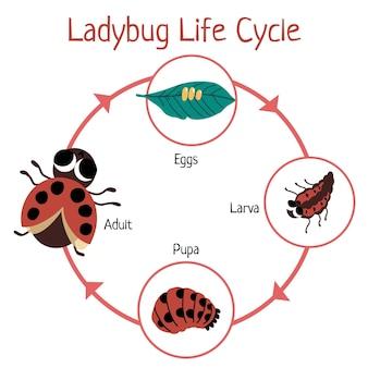 Handgetekende lieveheersbeestje levenscyclus