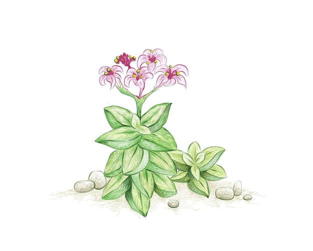 Handgetekende schets van crassula lente vetplanten plant