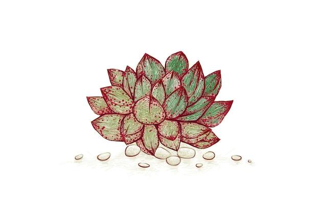 Handgetekende schets van echeveria purpusorum succulent
