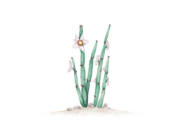 Handgetekende schets van euphorbia antisyphilitica cactus