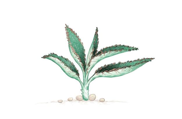 Handgetekende schets van kalanchoë daigremontiana vetplant