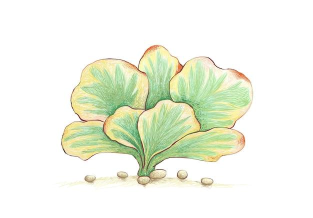 Handgetekende schets van kalanchoë luciae vetplant